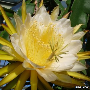 Queen of the night cactus flower (Image: Royal Botanic Garden, Kew)