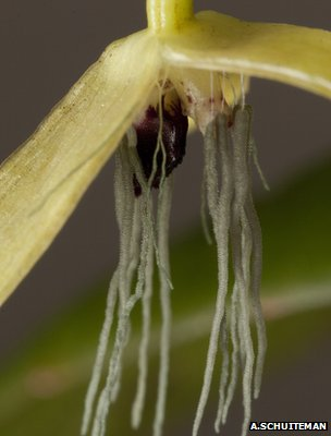Bulbophyllum nocturnum (Image: Andre Schuiteman/Kew Gardens)