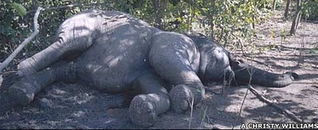 Poisoned elephant