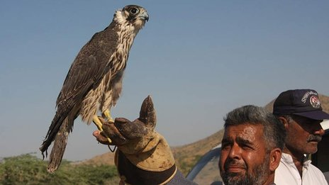 Falcon in Pakistan