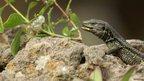 The lizard Gallotia galloti (c) Beneharo Rodriguez