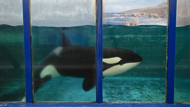 Morgan the killer whale has been hitting the headlines