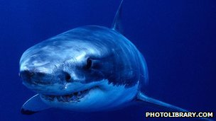 Great white shark (c) photolibrary.com