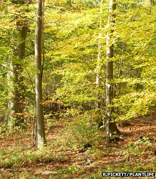 Beech woodland (Image: Robert Pickett/Plantlife)