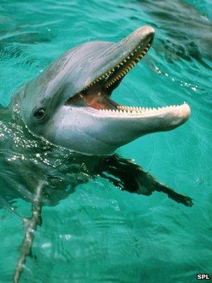 Dolphin (SPL)