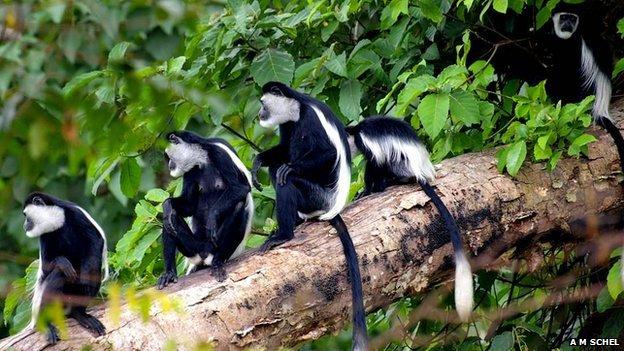Guereza colobus monkeys (c) Anne Marijke Schel