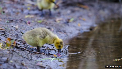 Water, duckling