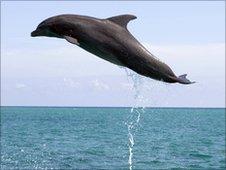 A dolphin in full flight