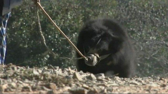 Bear in India