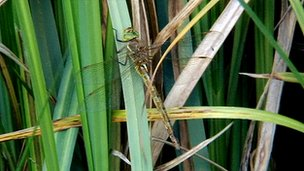 A Norfolk hawker dragonfly sitting on reeds