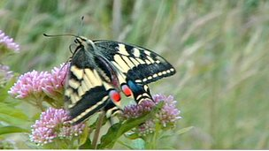 A swallowtail butterfly sitting on clover