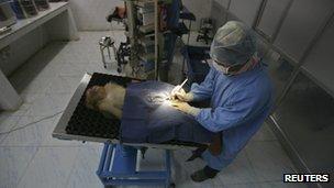 Monkey sterilisation in Shimla