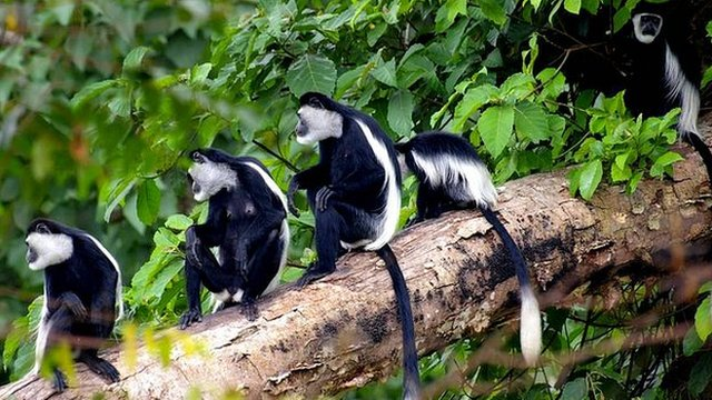 Guereza colobus monkeys (c) Anne Marijke Schel