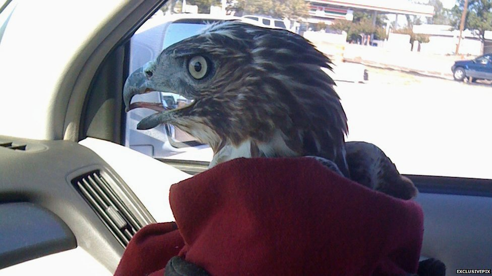 Pictures Amazing Rescue Of Hawk Trapped In Car Grille Make Your Own Beautiful  HD Wallpapers, Images Over 1000+ [ralydesign.ml]