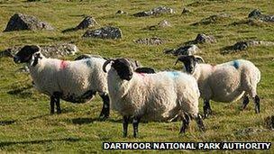 Sheep on Dartmoor: National Park Authority