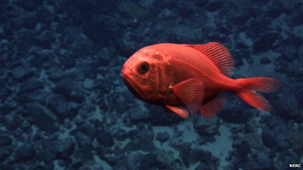 Orange roughy (c) NERC