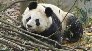 Female Giant Panda Tian Tian