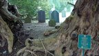 Roots of the giant yew tree at St Digain's Church, Llangernyw