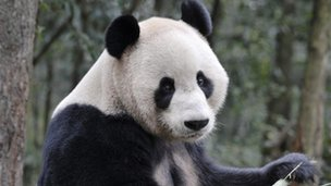 One of the pandas Yang Guang