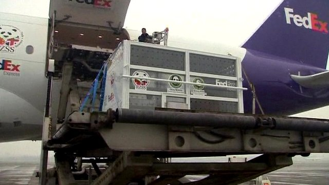 The two giant pandas being safely stowed on the plane from China for their journey to the UK