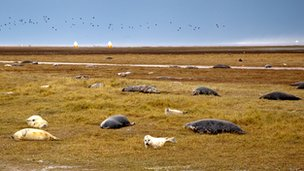 Seals at Donna Nook, Lincolnshire