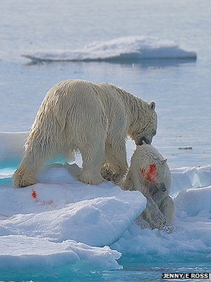 Polar bears (Copyright Jenny E Ross)