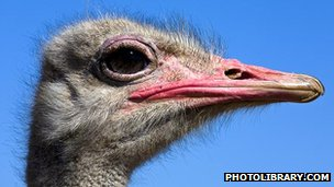Ostrich head (c) photolibrary.com