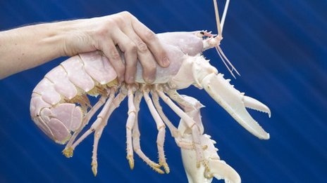 The albino lobsters Santa Claws