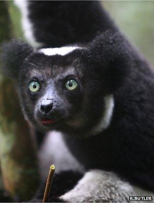 Indri (Image: Rhett Butler/mongabay.com)