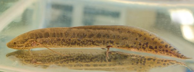 African lungfish (c)Yen-Chyi Liu/University of Chicago