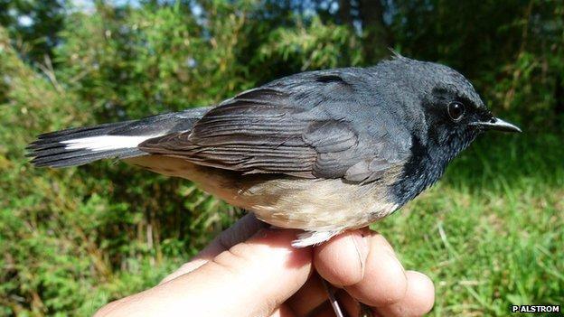 A rare black-throated robin (c) Per Alstrom