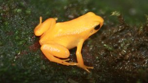Golden mantella frog