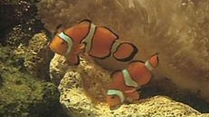 Clownfish