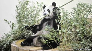 Yang Guang settles in to his new enclosure. Photo by Rob McDougall