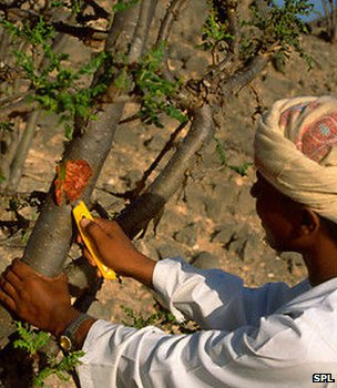 Man cutting a Boswellia tree in order to tap its resin (Image: Science Photo Library)