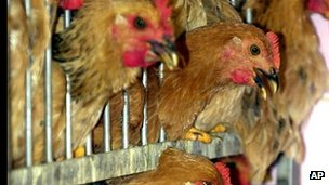 Chickens wait to be culled in Hong Kong in 2001