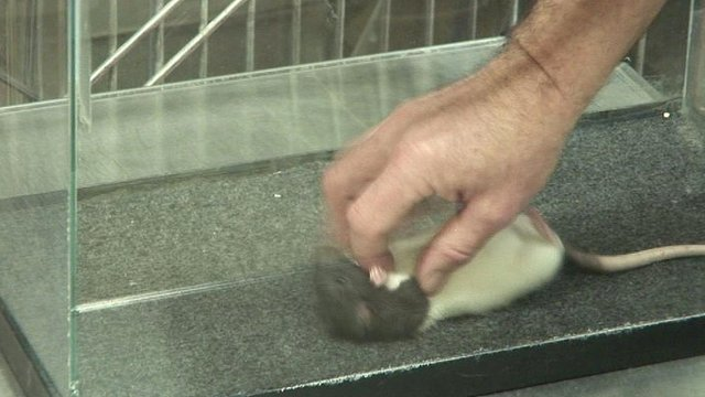 Rat being tickled