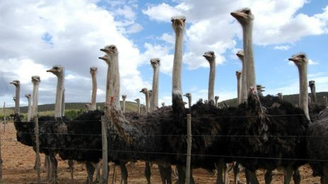Ostriches on a farm in Oudtshoorn in the Western Cape
