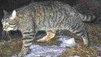 Scottish wildcat. Pic: Kerry Kilshaw/WildCRU/SNH
