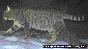 Hybrid wildcat. Pic: Kerry Kilshaw/WildCRU and SNH