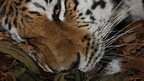 Anaesthetised Amur tiger (c) Wildlife Vets International