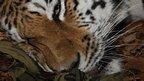 Anaesthetised Amur tiger (c) Wildlife Vets International