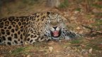 Amur leopard (c) Wildlife Vets International