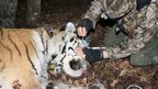 Team working on an Amur tiger in Russia (c) Wildlife Vets International