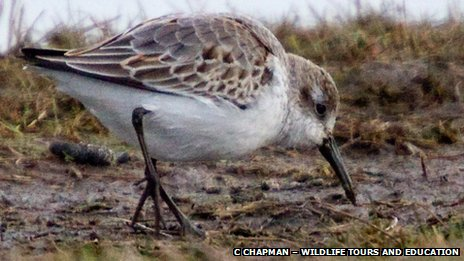 Western Sandpiper at Cley Marsh