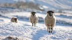 Sheep in winter snow (c) Mark Ellison