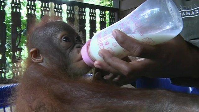 An orangutan is fed milk