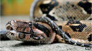 Boa constrictor (file image)