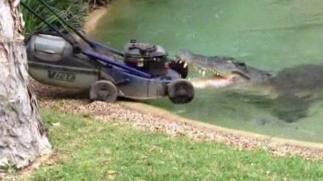 Crocodile attacks lawn mower