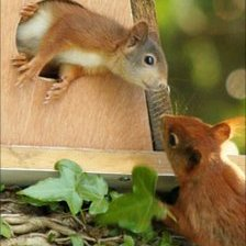 Red squirrels living on Anglesey